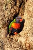 Rainbow Lorikeet (Trichoglossus haematodus) — Stock fotografie