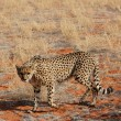 cheetah — Stock Photo #38914601