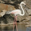 Greater Flamingo — Stock Photo #38915097