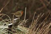 European Robin (Erithacus rubecula) — Foto de Stock