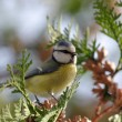 Blue Tit (Parus caeruleus) — Stock Photo