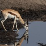 Springbok (Antidorcas marsupialis) — Stock Photo