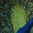 Peacock (Pavo cristatus) — Stock Photo #38925551