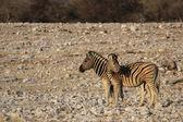 Plains Zebras (Equus quagga) — Foto de Stock