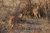 Two Steenbok (Raphicerus campestris) — Foto de Stock
