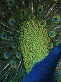 Peacock (Pavo cristatus) — Stock Photo