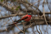 Carmine Bee-eater (Merops nubicoides) — Stock Photo