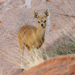Stock Photo: Klipspringer