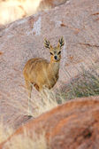 Klipspringer — Photo