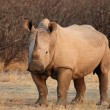 Square-lipped Rhinoceros (Ceratotherium simum) — Stock Photo
