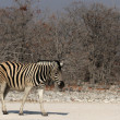 Plains Zebra — Stock Photo #39051977