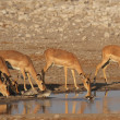 Black-faced Impalas (Aepyceros melampus petersi) — Stock Photo