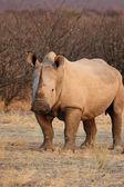 Square-lipped Rhinoceros (Ceratotherium simum) — Stockfoto