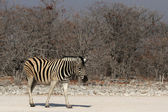 Steppezebra — Stockfoto