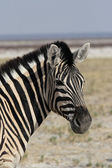 Plains Zebra (Equus quagga) — Stock Photo