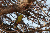 African Green Pigeon (Treron calva) — Stock Photo