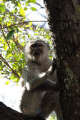 Vervet Monkey (Cercopithecus pygerythrus) — Stock Photo