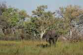 Elephant (Loxodonta africana) — Stock Photo