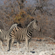 Plains Zebr(Equus quagga) — Stock Photo #39252779