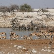 Stock Photo: Wildlife at the waterhole