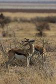 Springbock (antidorcas marsupialis) — Stockfoto