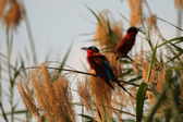 Carmine Bee-eaters (Merops nubicoides) — Stock Photo