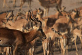 Nero-affrontato impala (aepyceros melampus petersi) — Foto Stock
