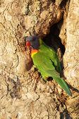 Rainbow Lorikeet (Trichoglossus haematodus) — Zdjęcie stockowe