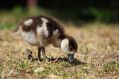 Chick of an Egyptian Goose (Alopochen aegyptiacus) — Stock Photo