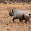 Stock Photo: Hook-lipped Rhinoceros (Diceros bicornis)