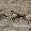 Stock Photo: Fighting Springbok