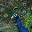 Peacock (Pavo cristatus) — Stock Photo #39321301