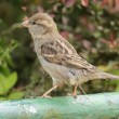Stock Photo: House Sparrow (Passer domesticus)