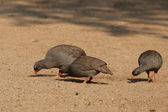 Red-billed Francolins (Pternistes adspersus) — Stock Photo