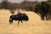 Blue Wildebeest (Connochaetes taurinus) — Zdjęcie stockowe