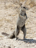 Southern African Ground Squirrel (Xerus inauris) — Stockfoto