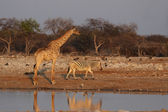 Giraffe (Giraffa camelopardis) and Plains Zebra (Equus quagga) — Stock Photo