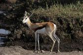 Springboks (antidorcas marsupialis) — Foto de Stock
