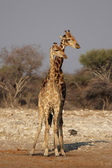 Giraffes (Giraffa camelopardis) — Stock Photo