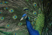 Peacock (Pavo cristatus) — Stock Photo