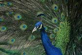 Peacock (Pavo cristatus) — Stok fotoğraf