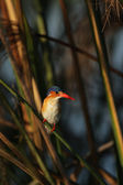 Malachite Kingfisher — Stock Photo