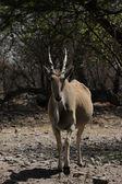 Eland (Taurotragus oryx) — Stock Photo