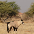 Stock Photo: Gemsbok (Oryx gazella)