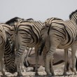 Plains Zebra — Stock Photo #39569593