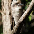Laughing Kookaburra (Dacelo novaeguineae) — Stock Photo