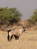 Gemsbok (Oryx gazella) — Stock Photo
