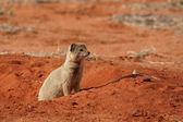Sarı firavun faresi — Stok fotoğraf