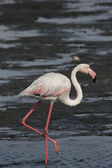 Greater flamingo (Phoenicopterus ruber) — Stock Photo