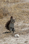 Southern African Ground Squirrel (Xerus inauris) — Stok fotoğraf